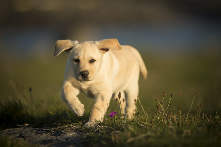 Labrador puppy, walking outdoors, Doolin, Clare, Ireland