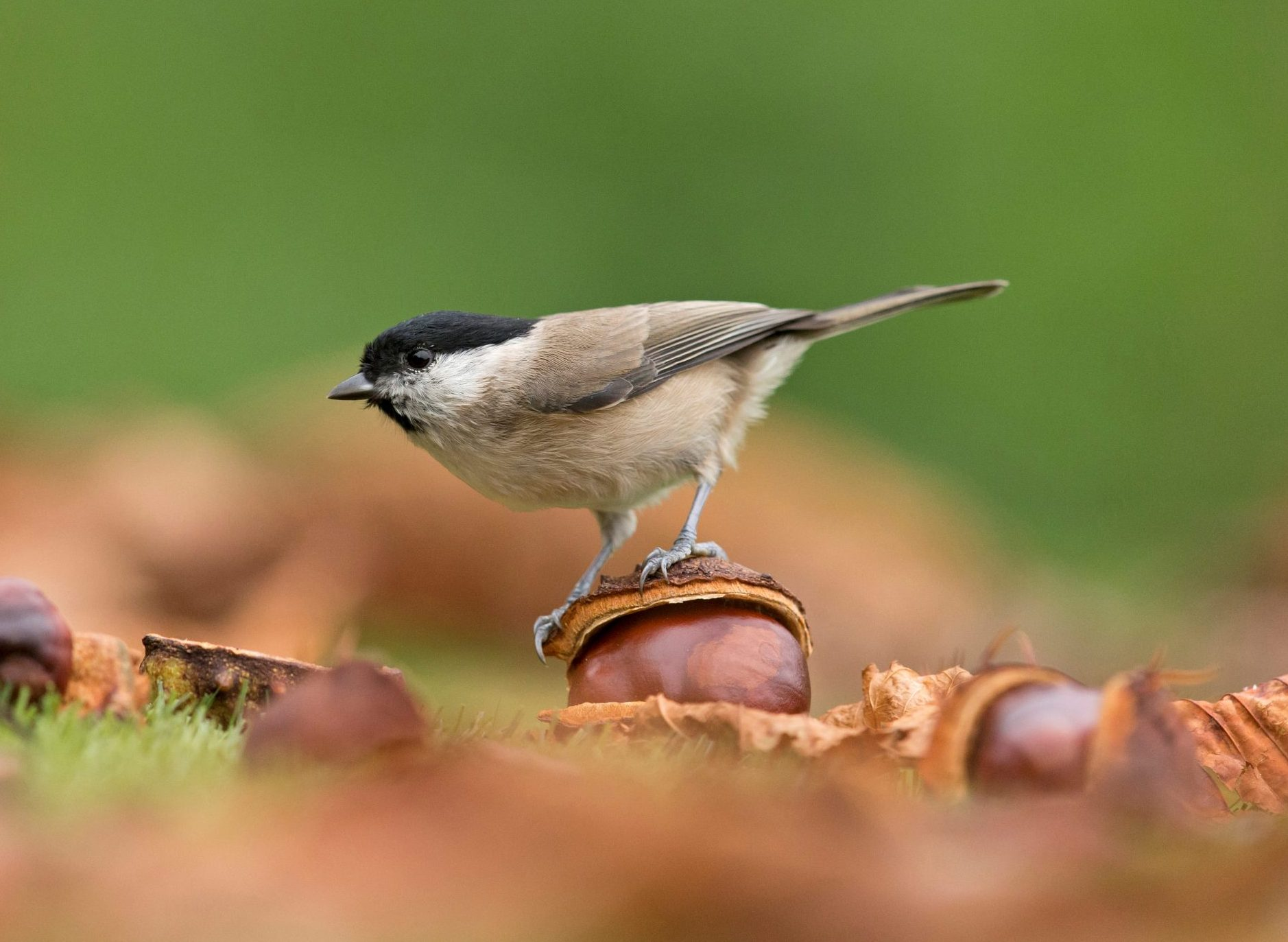 The 10 british songbirds at risk of extinction, from the turtle dove to the marsh tit - Country Life