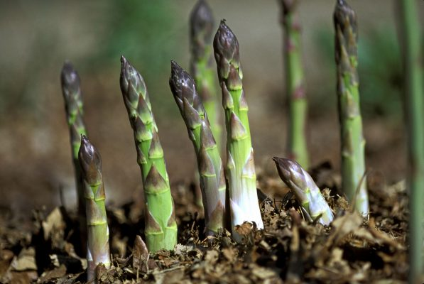 How to grow asparagus, the 'mini-vegetable orchard' which pokes its head out in Spring, looking for love - Country Life
