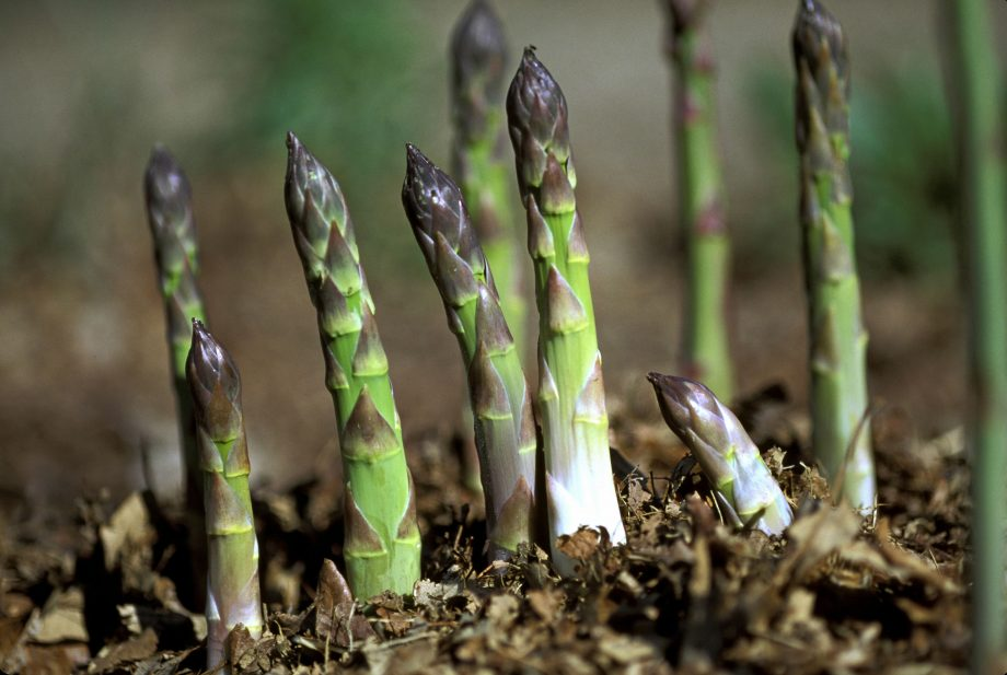 CLOSEUP OF ASPARAGUS SPEARS GROWING IN THE GROUND. H