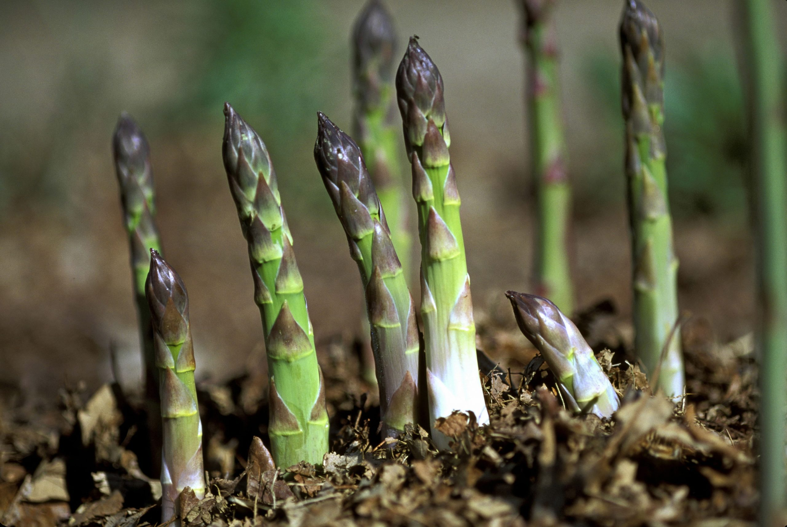 How To Grow Asparagus The Mini Vegetable Orchard Which Pokes Its Head Out In Spring Looking For Love Country Life