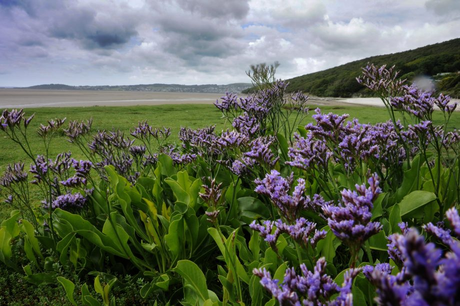 Sea Lavender - Looking across Morecambe Bay