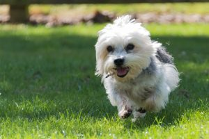 A Dandie Dinmont Terrier in full flight. Dandies are adorable dogs with the soulful eyes who are bright, sparky and can't help but make you smile. Find out more about the breed here.