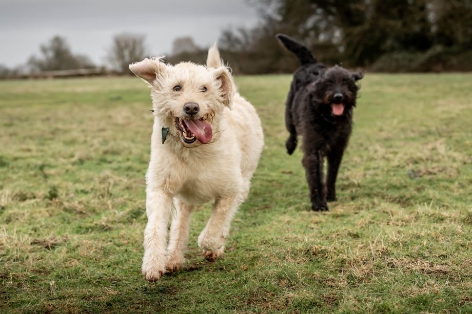 Scrumpy and Fela the labradoodles. Photograph by Sarah Farnsworth for Country Life.