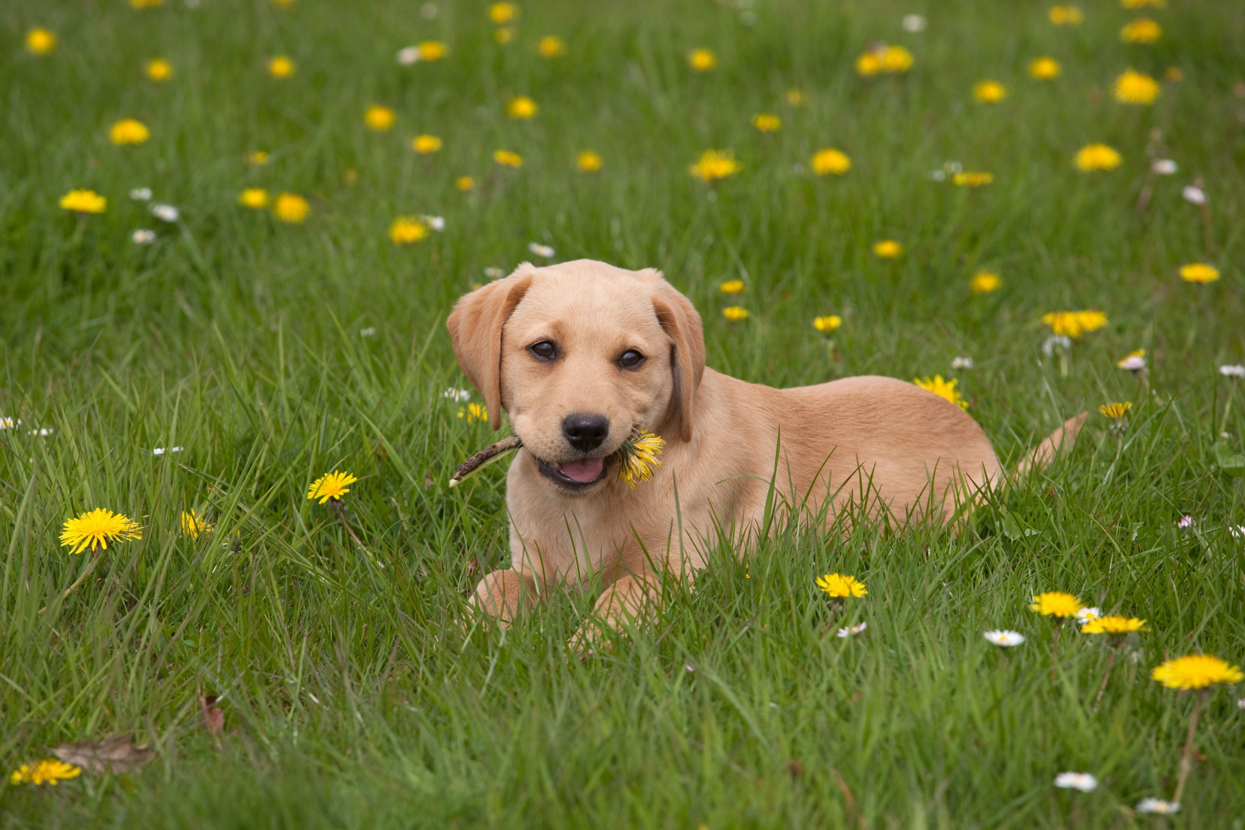 How To Pick A Labrador Puppy Country Life
