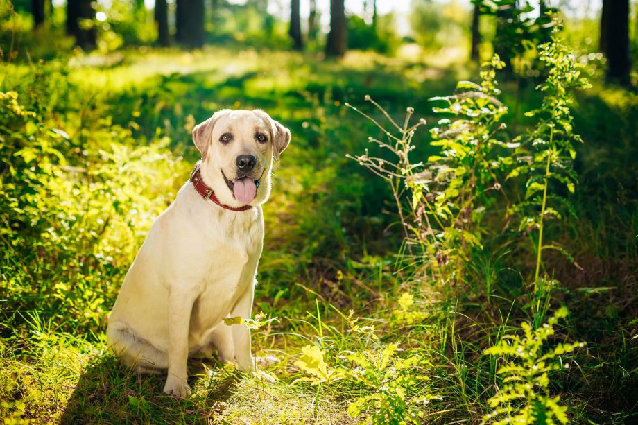 White Labrador sitting on the grass