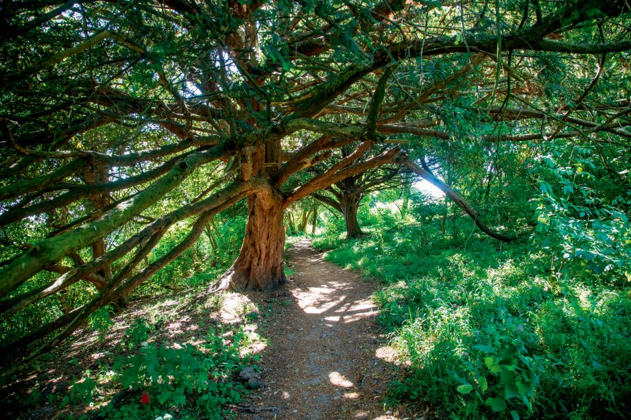 An ancient yew tree at Box Hill