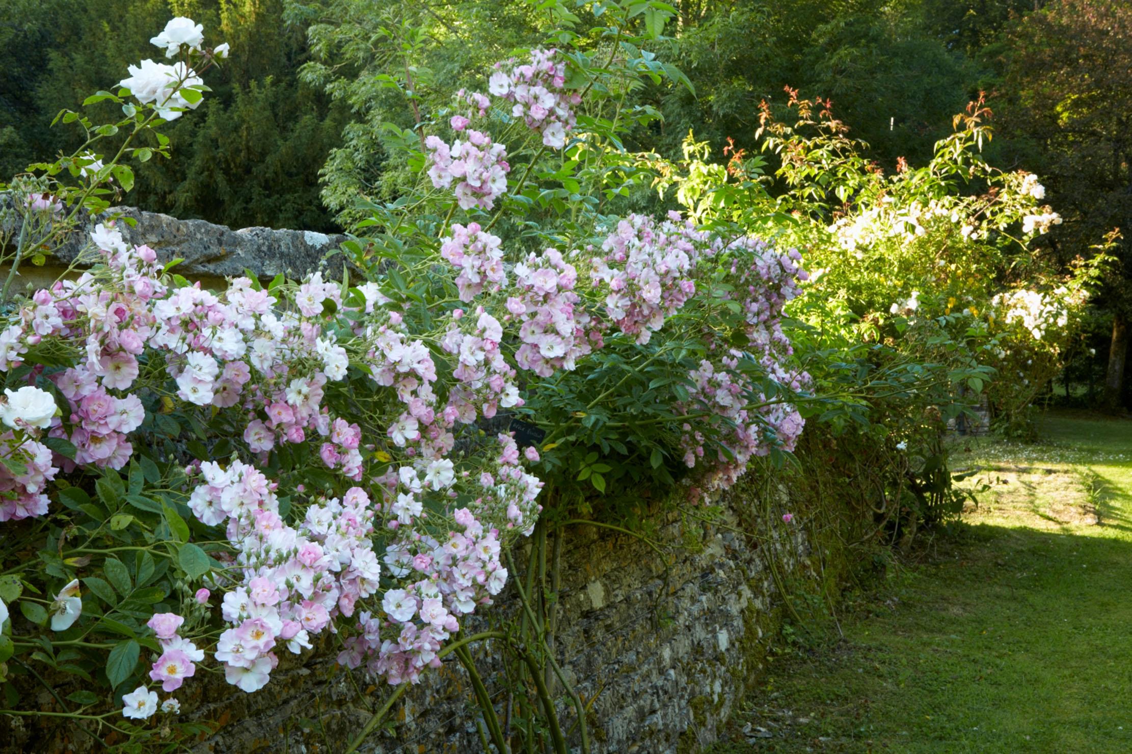 How the 'greatest gardener ever' helped make British roses as we know them today - Country Life