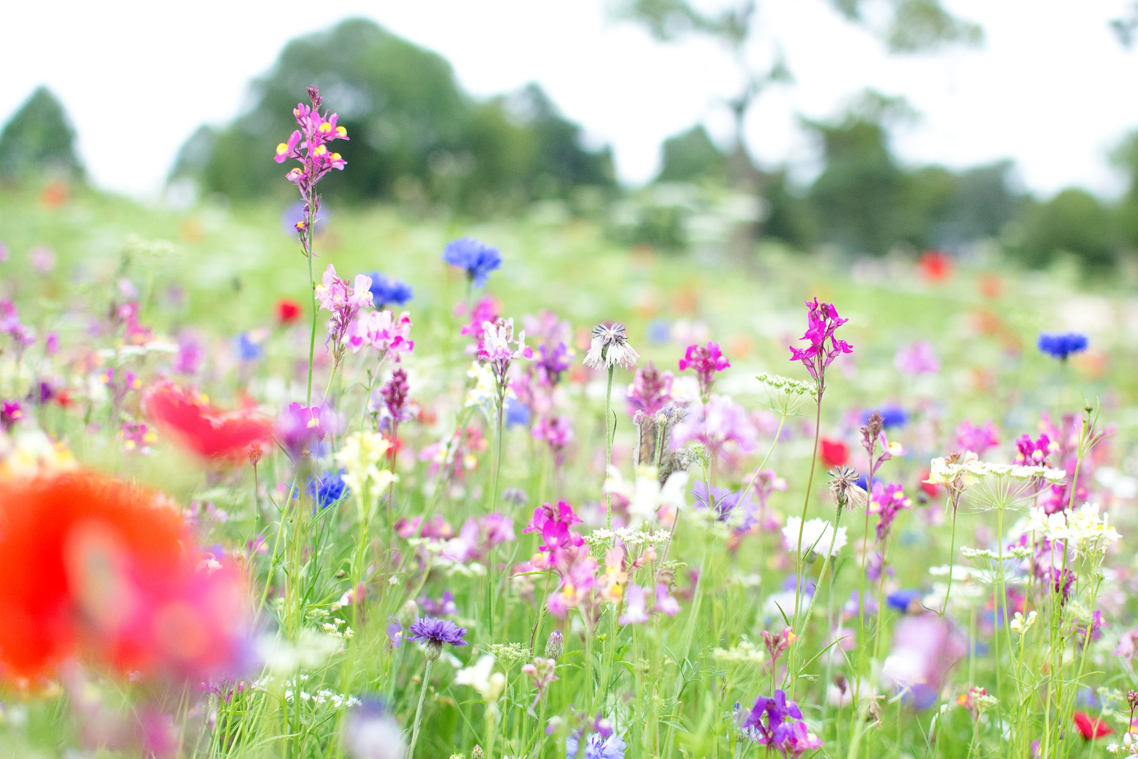 Mary Keen: How to plant your own wildflower meadow - Country Life