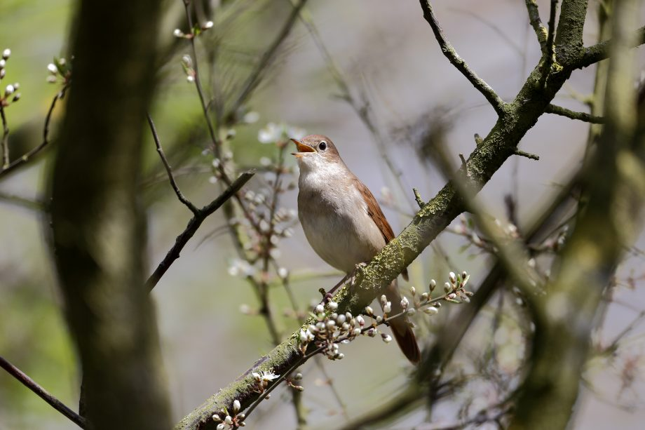 Nightingale, Luscinia megarhynchos, single bird singing in tree, Lincolnshire, April 2013