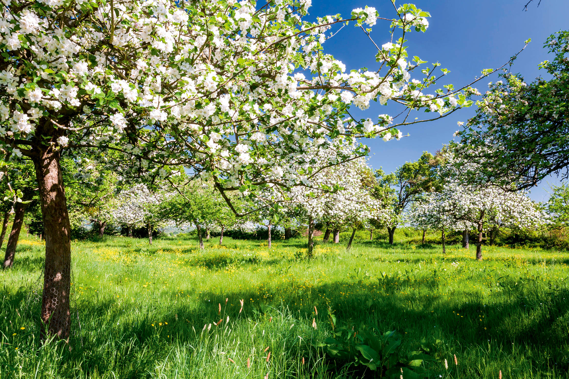 The ultimate guide to planting your own orchard: 'Getting it right is easy; sadly, so is getting it wrong' - Country Life