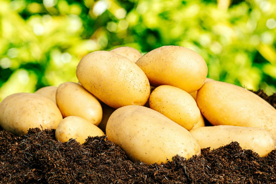 Freshly harvested Charlotte potatoes on a sunny summer's day.