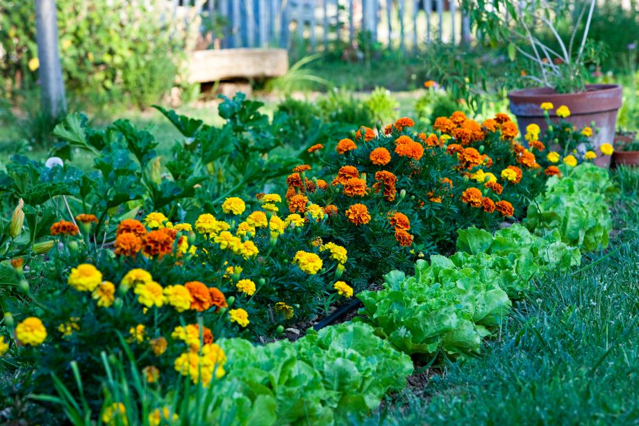 salad and marigold in a garden