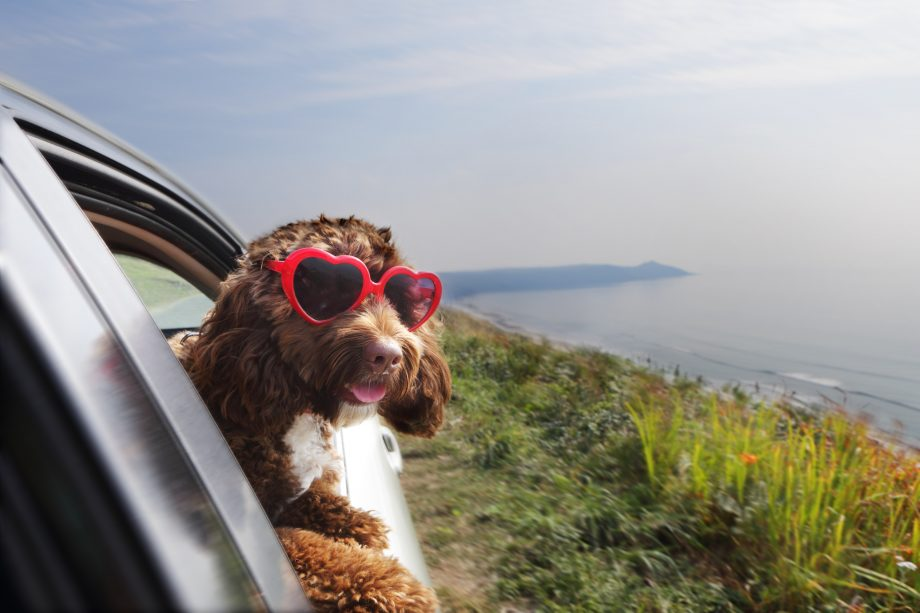 Dog leaning out of car window on coast road