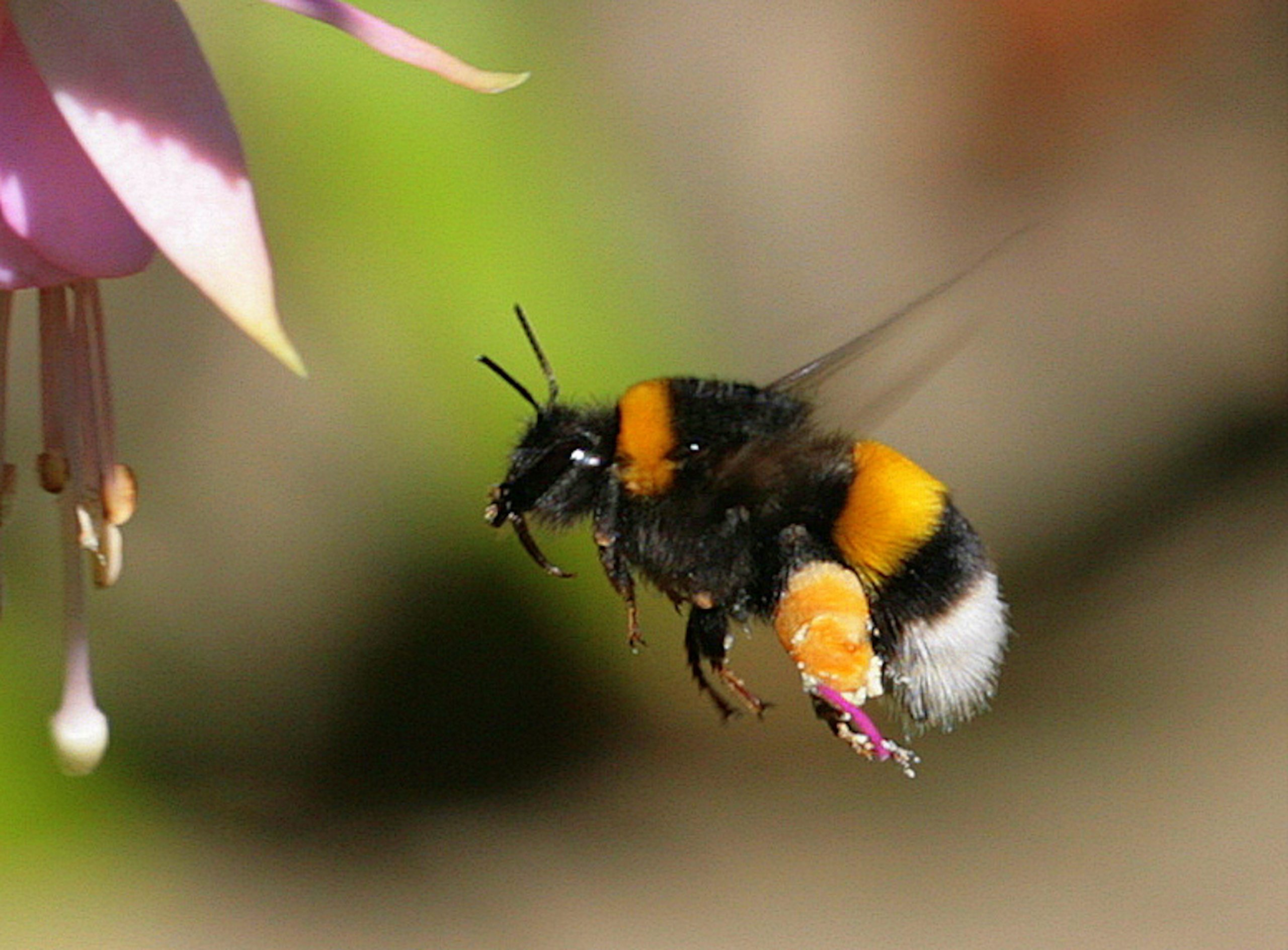 Bumblebees GettyImages-143666020-scaled