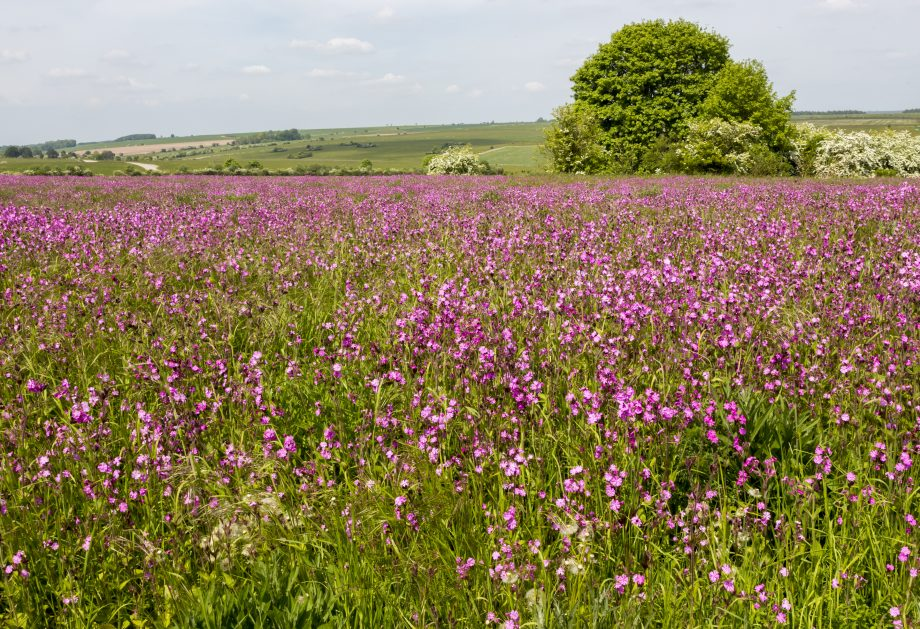 Red campion, Silene dioica, flowering chalk upland grassland Salisbury Plain, near Tilshead, Wiltshire, England, UK. (Photo by: Geography Photos/Universal Images Group via Getty Images)