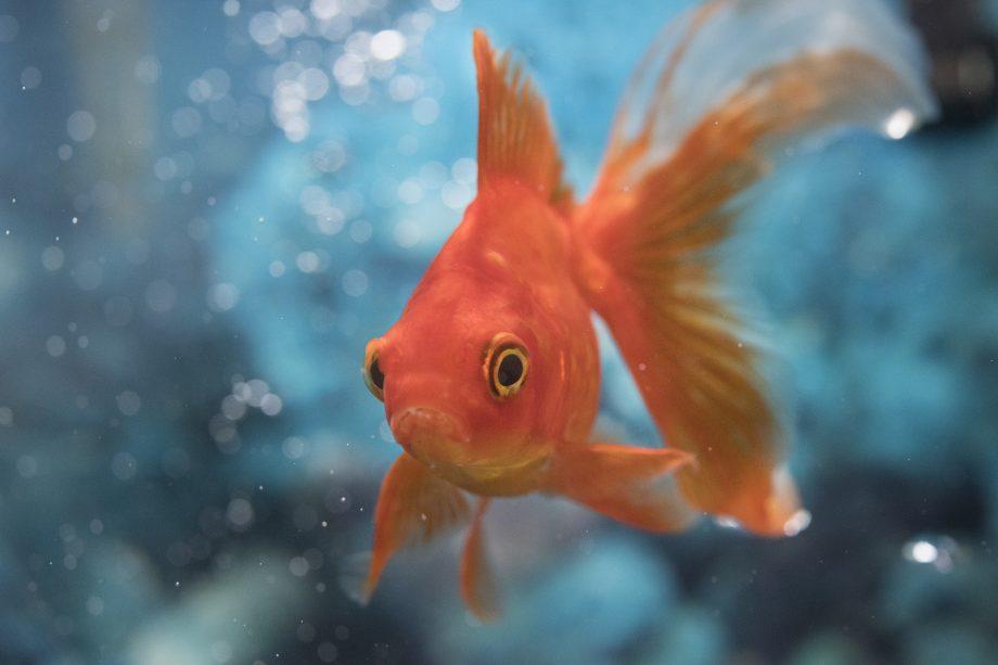 Beautiful Red Orange Goldfish Pet in House Tank or Aquarium.