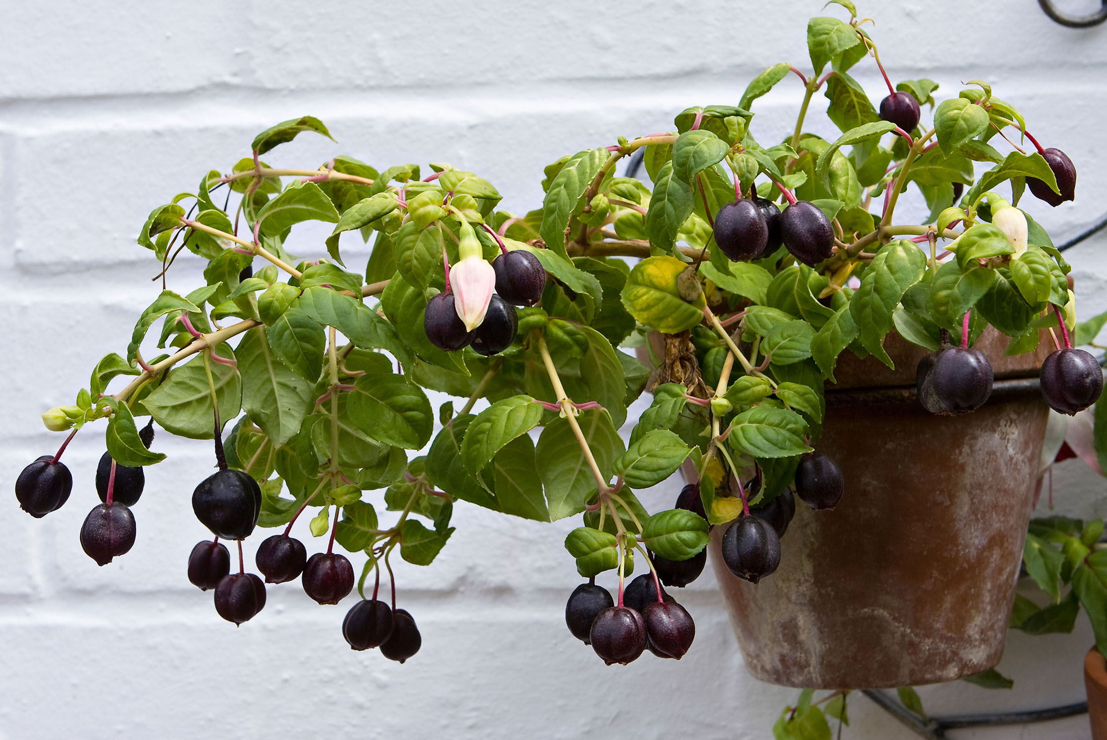 Fuchsia jam, rowan brandy liqueur and the curiosities you can make from an English country garden - Country Life