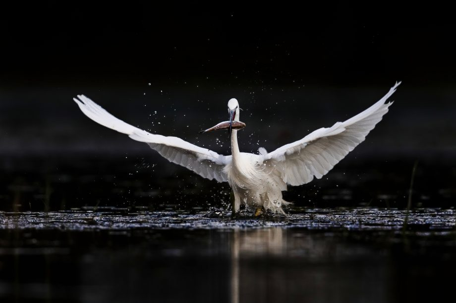 Little egret with spread wings