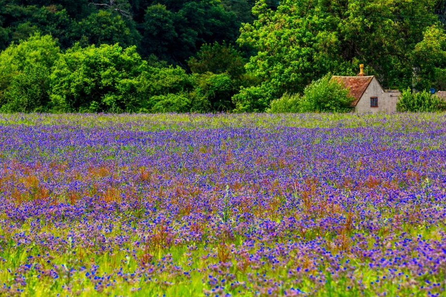 A field of blue borage flowers with cottage in Kidderminster