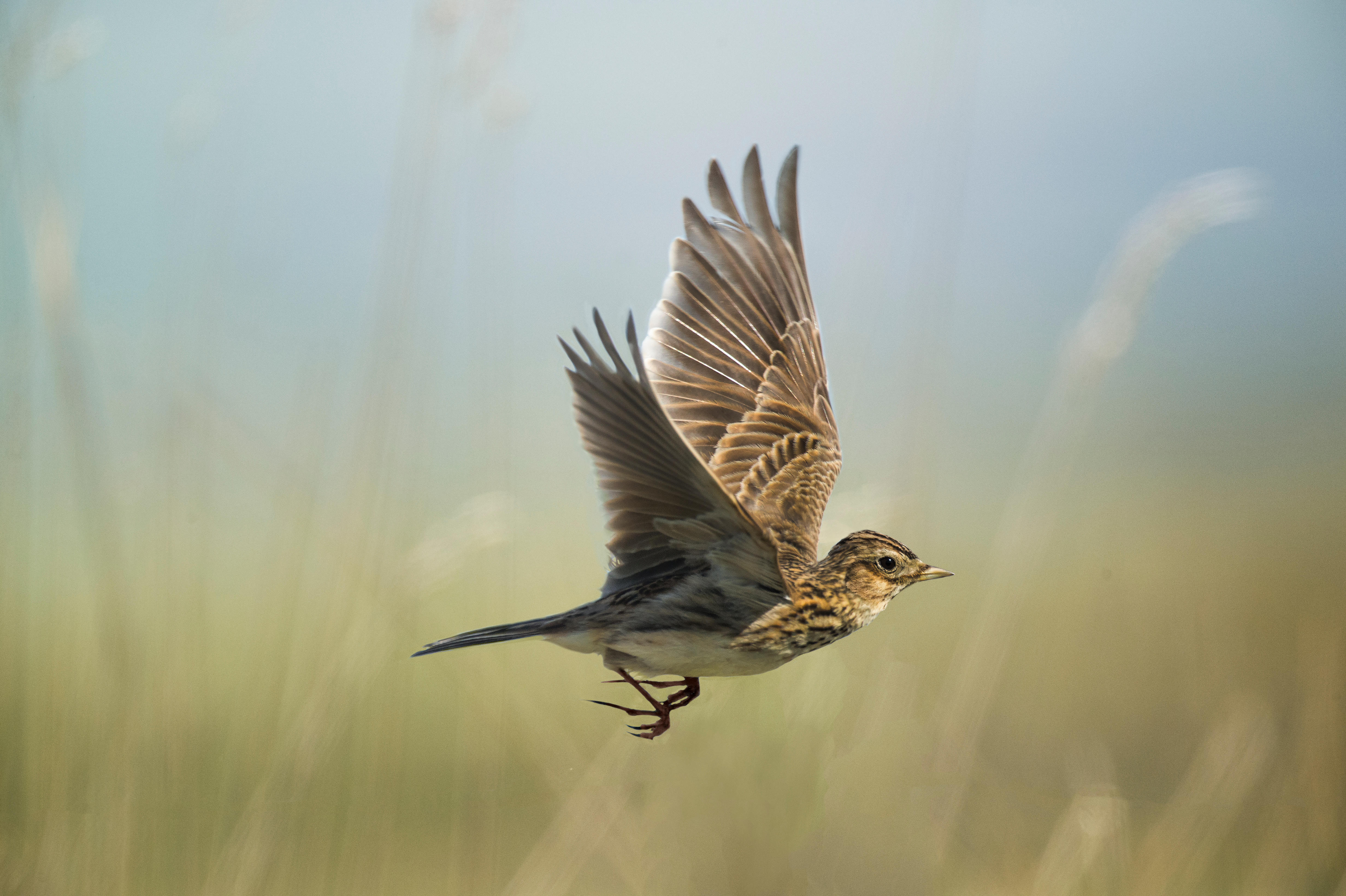 Skylarks: the birds that inspired countless poets and one of Britain's most revered music pieces - Country Life