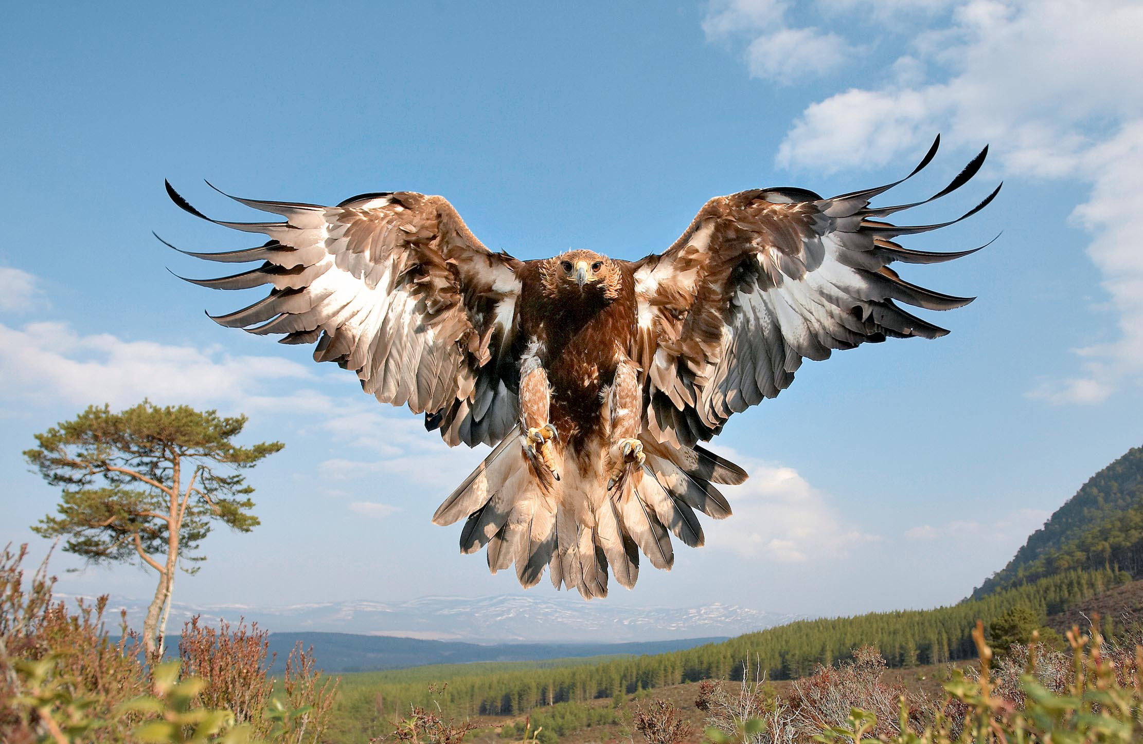 The return of the golden eagle to southern Scotland: How the king of birds is set to make a comeback beyond the Highlands - Country Life